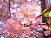 河津桜祭り会場まで徒歩1分 夜桜にも近い