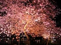 ライトアップの河津桜。ライトアップ会場まで徒歩1分