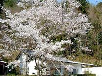 ■桜■春には敷地内の桜が満開に!静かな場所でのんびりお花を愉しみましょう♪