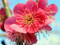 *水戸の偕楽園  当館よりお車約35分です。庭園と梅の花の美しさをのんびりお散歩してお楽しみください。
