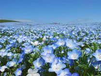 スプリングセール ひたち海浜公園の花めぐり&海辺でひとやすみ