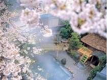 満開の桜の中で入る朝野家自慢の露天風呂