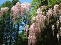 珍しい、淡いピンクに色付いた藤の花。初夏の頃には彩りを添えます。