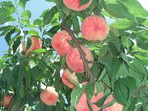 福島県といえばもも!フルーツ王国自慢の美味しさをお持ち帰り!冷やして食べて、旅行の思い出話を。