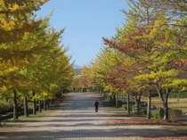 【秋】 秩父ミューズパークの銀杏並木