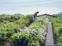 【つむぎ茶畑】遠州綿紬のストライプ柄をイメージし、ツツジとチャノキを交互に配置した茶畑。