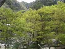 食事処の窓からの景色4月中旬・・・緑のもみじが鮮やかです。