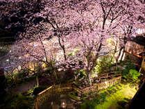 夜桜【中庭】
