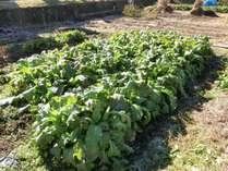 自家製、無農薬栽培の野沢菜