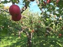 飯綱町北川地区、標高約700mにあるsinraの林檎畑です。