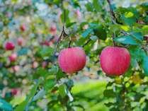 自家農園で心をこめて育てた蜜入りさんふじ、11月が旬です。