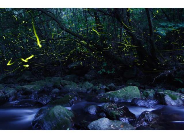 祇園川のホタル