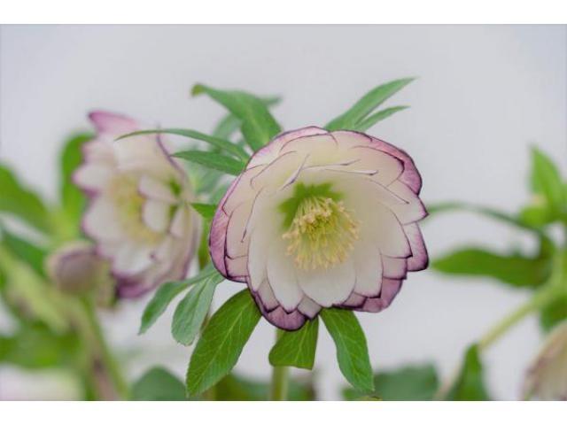 展 クリスマス 世界 ローズ の 最新品種や原種苗も購入できる! 毎年2月に東京・池袋で開催の「クリスマスローズの世界展」