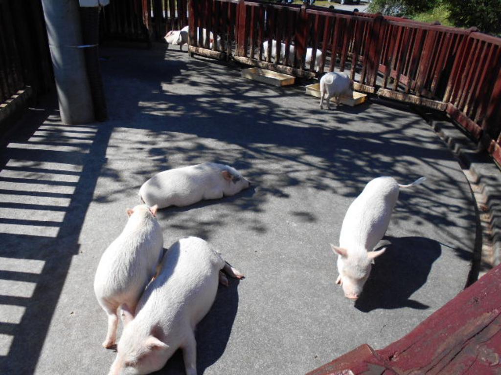 広場 とんとん 豚 の 林 牧場 福 里