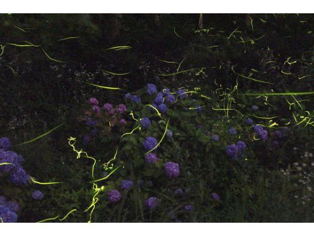 花見ほたる祭り