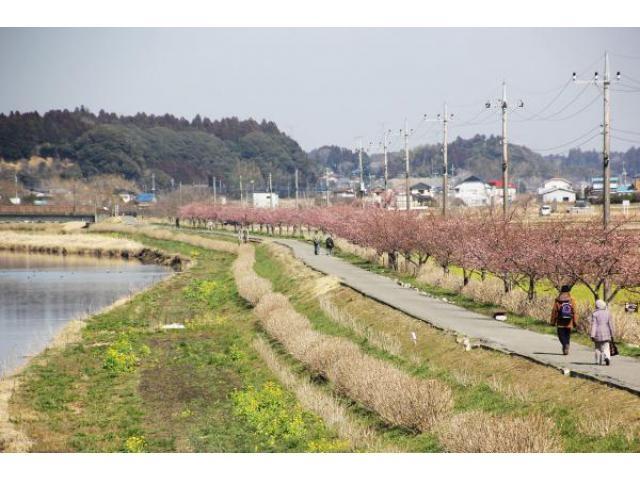 道の駅多古あじさい館周辺の河津桜