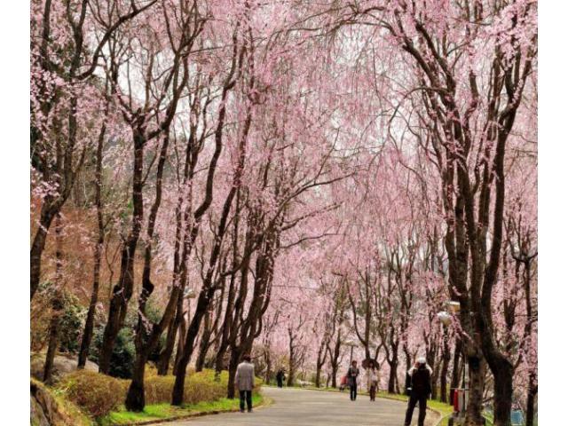 桜まつり~しだれ桜の並木道~
