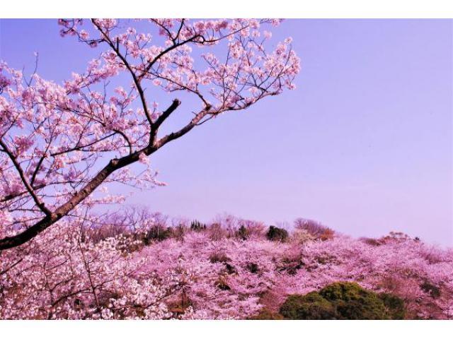 白浜町 平草原公園桜まつり