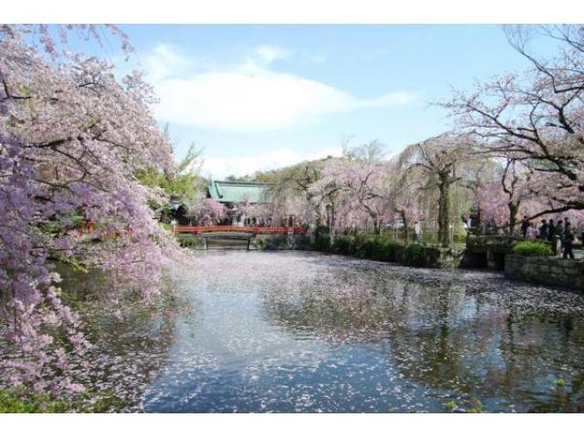 三嶋大社の桜