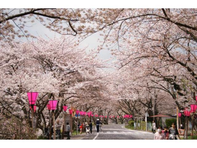 金比羅山・瀬戸川 桜まつり