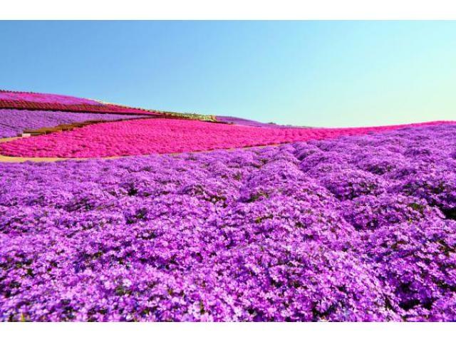 東京ドイツ村の芝桜まつり