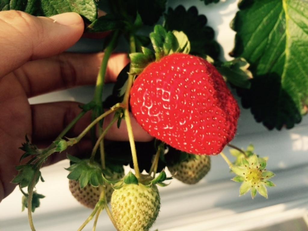 strawberry farm まあと工房