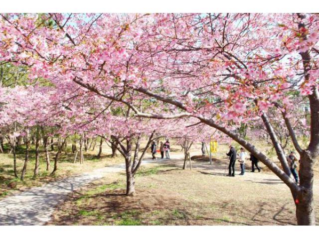 しらこ温泉桜祭り
