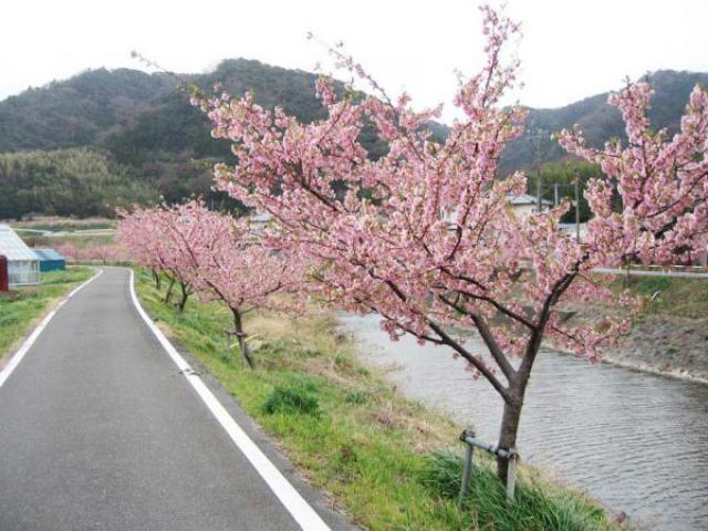 保田川の頼朝桜