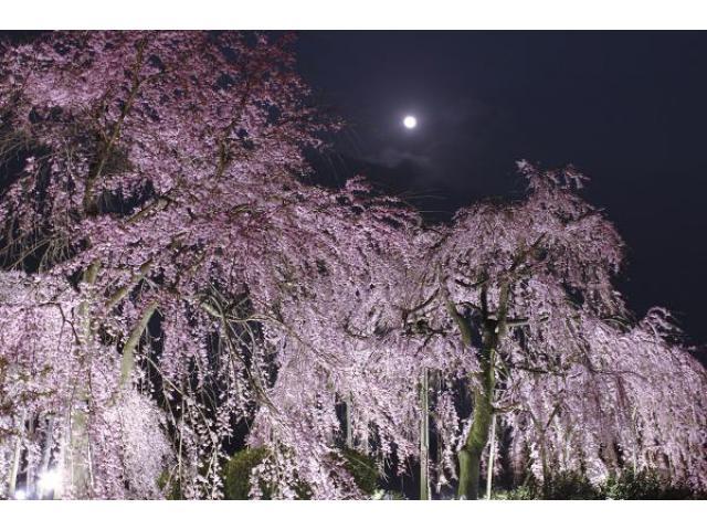 しだれ桜夜間無料公開
