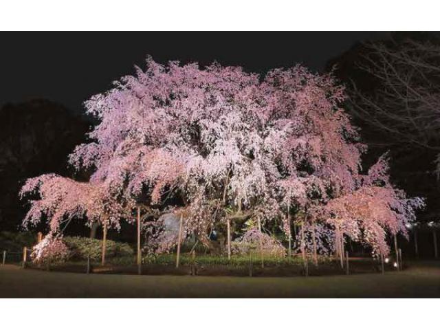 六義園「しだれ桜と大名庭園のライトアップ」
