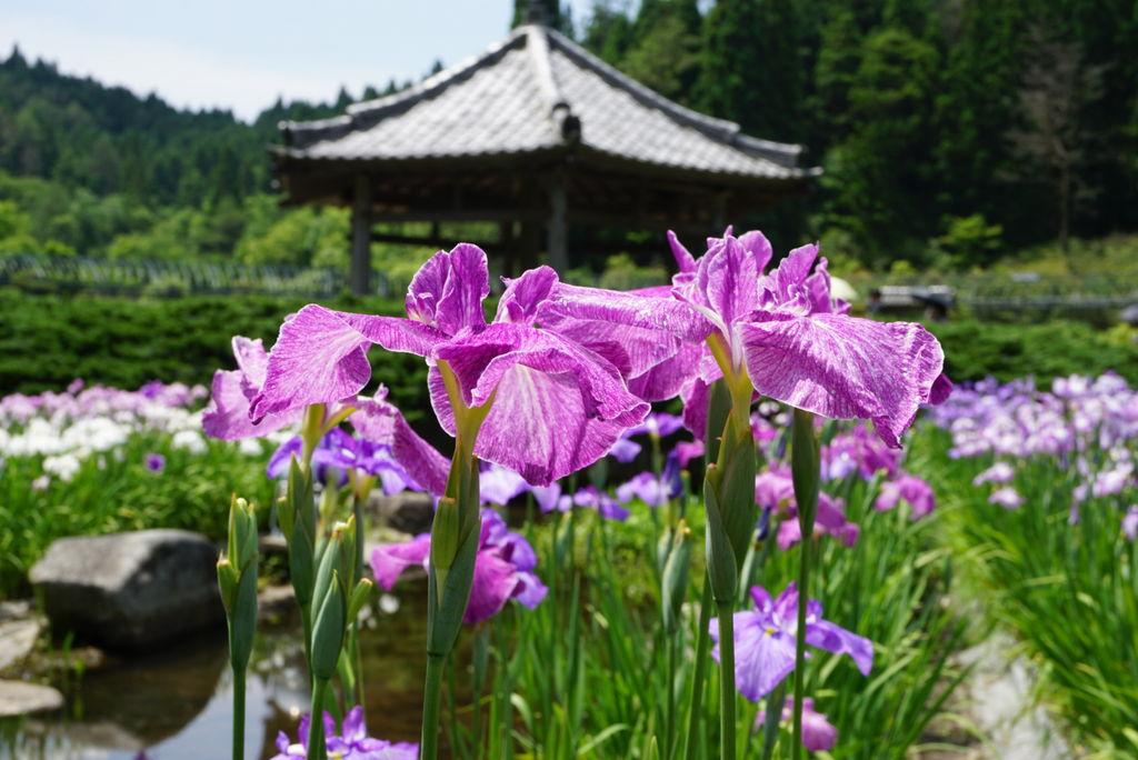 永沢寺花しょうぶ園の写真一覧