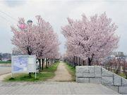 【桜まつり・春】