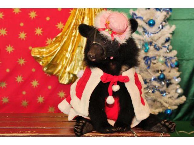 Happy Cuddly Xmas(阿蘇カドリー・ドミニオン)