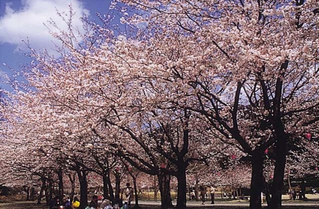 足立公園の桜