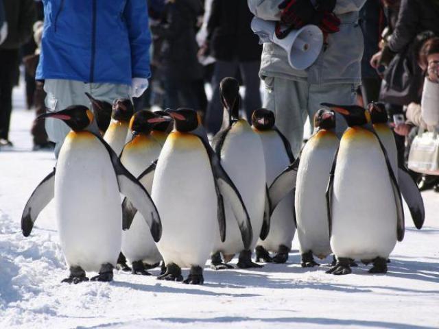 ペンギンの散歩(旭山動物園)