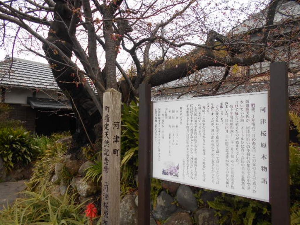 桜 原木 の 苗 河津