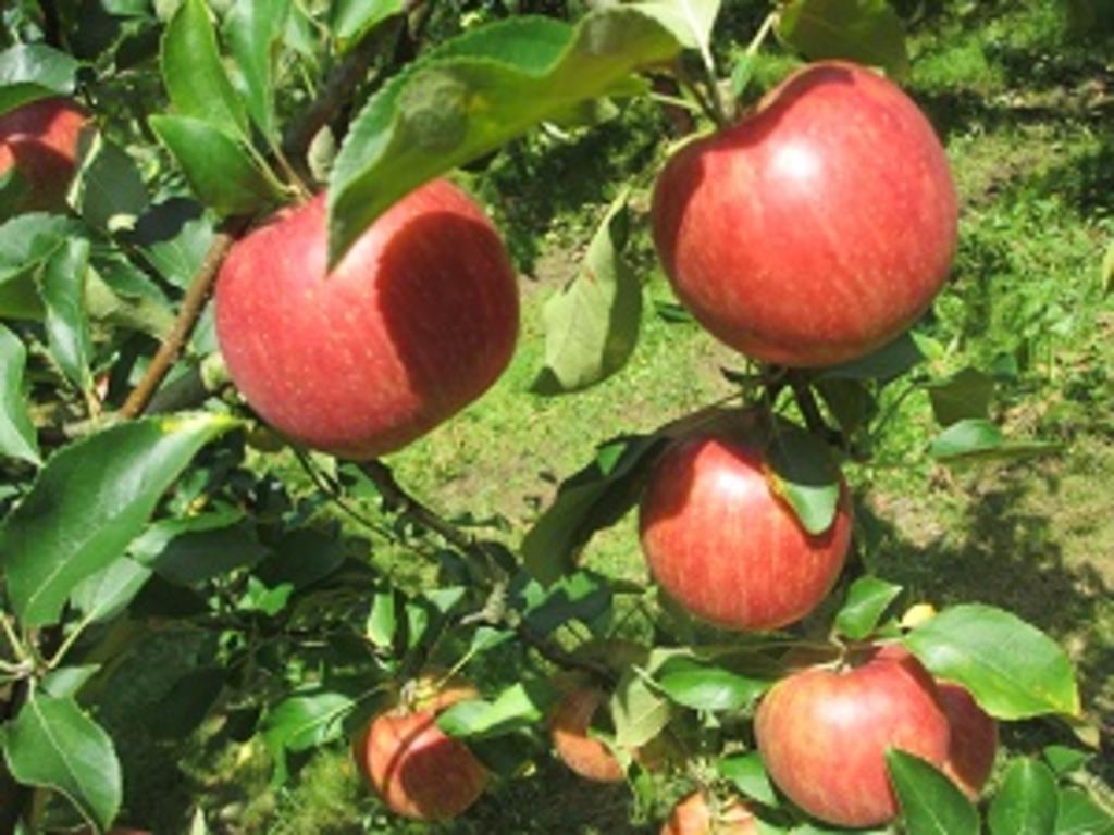 マルヤスリンゴ園